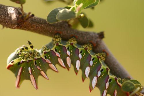 caterpillar close-up larva
