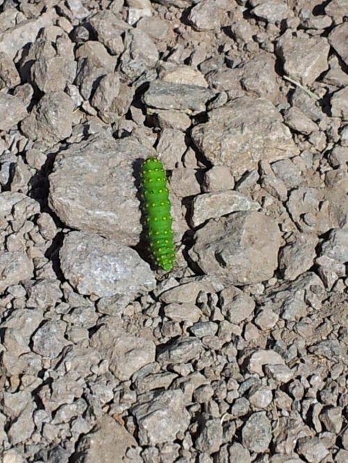 caterpillar green nature