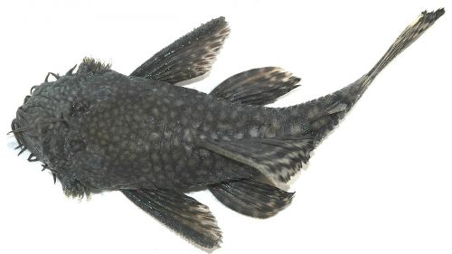 catfish biology fish