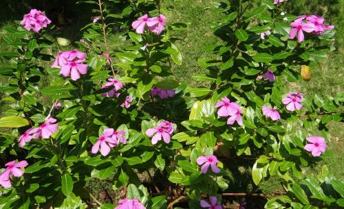 catharanthus roseus periwinkle flower