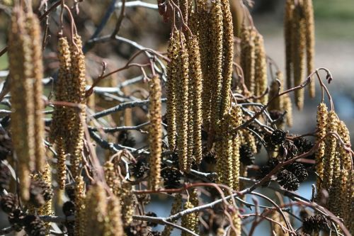 catkins nature spring