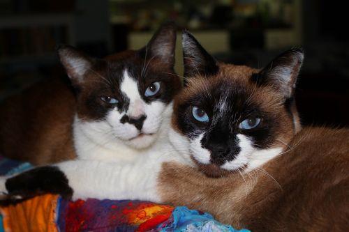 cats sealpoint cute