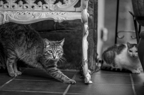 cats asturias animals