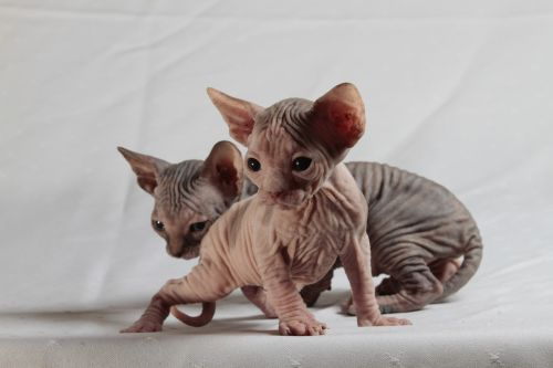 cats sphinx kittens