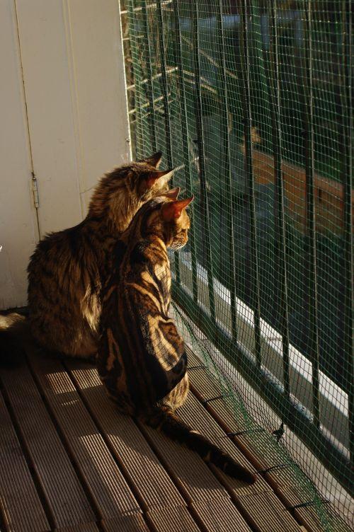 katės,kartu,saulėtas