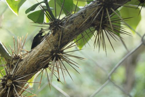 cat's claw thorns plant