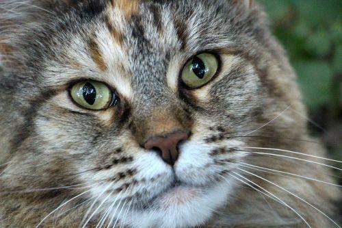 cats head main coon female cat