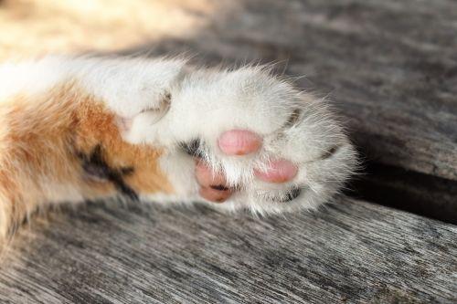 cat's paw white animal