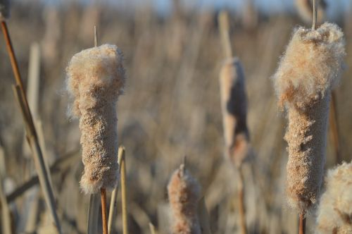 cattails reeds plant