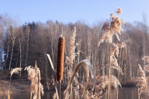 cattail typha flying seeds