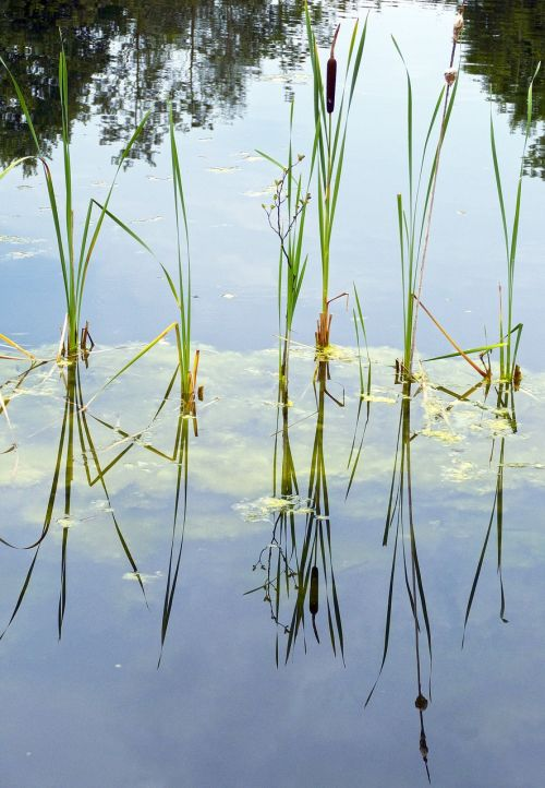 cattail waters aquatic plant
