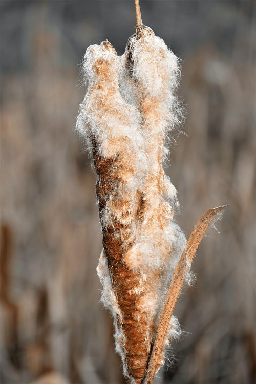 cattail reed flying seeds