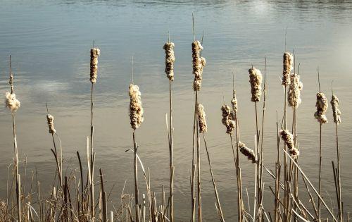 cattails reeds bulrush