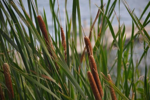 cattails reeds lake