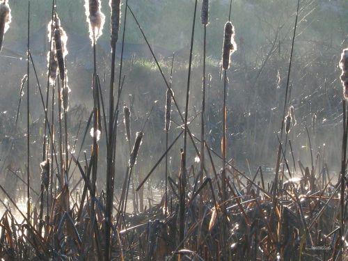 cattails typha plants