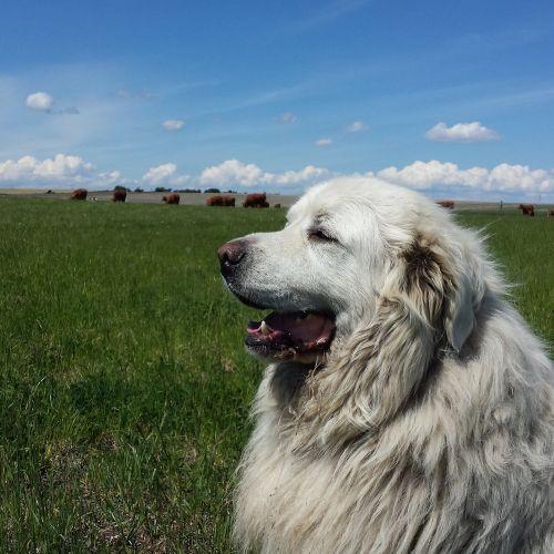 cattle herd watchdog
