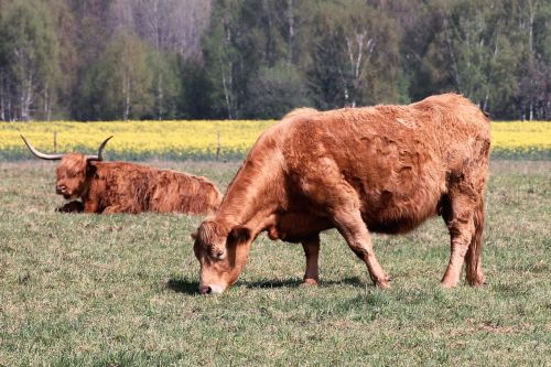 cattle cows pasture