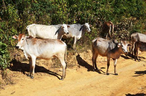 cattle calf yak