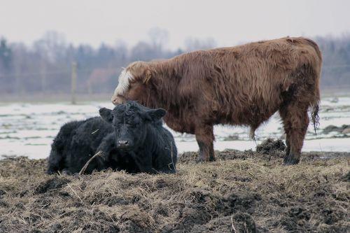 cattle cows mammals
