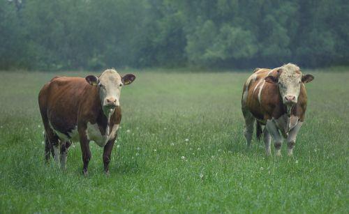 cattle bull cow