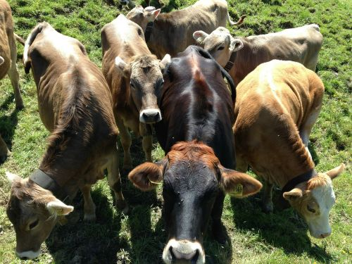 cattle pasture agriculture