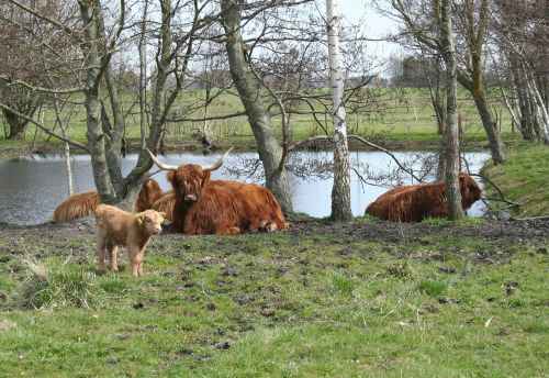cattle scottish highland cattle highland cattle