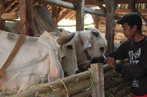 cattle cattle farmers cow java