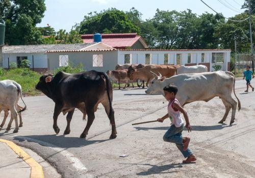 cattle boy chasing