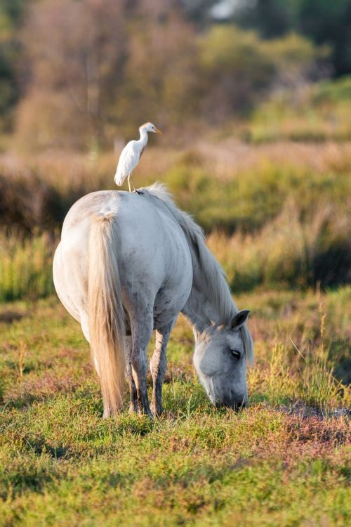 cattle egret white horse move