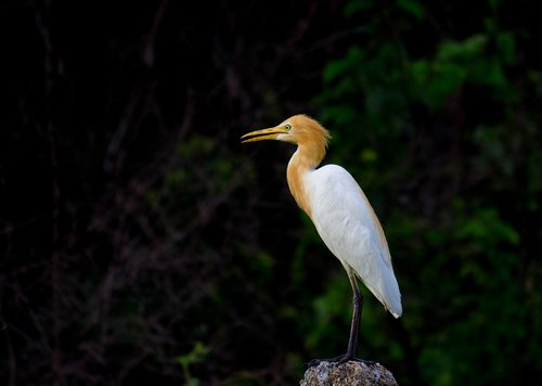 cattle egret  bird  animal