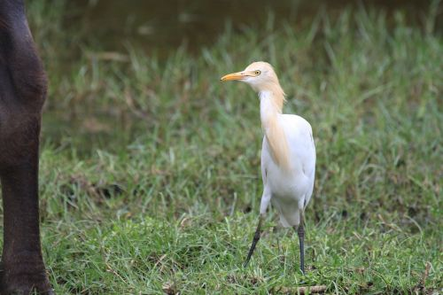 cattle egret white bird