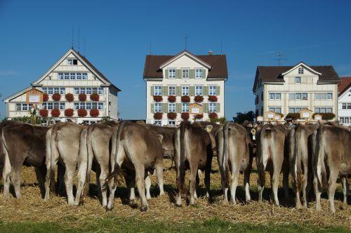cattle show appenzell switzerland stone