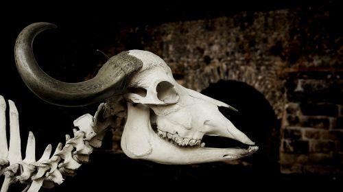 cattle skull skull african buffalo