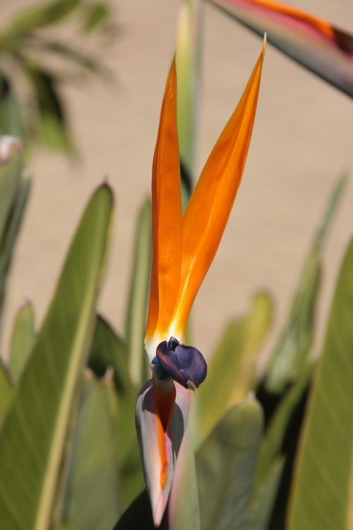 caudata orange bird of paradise flower
