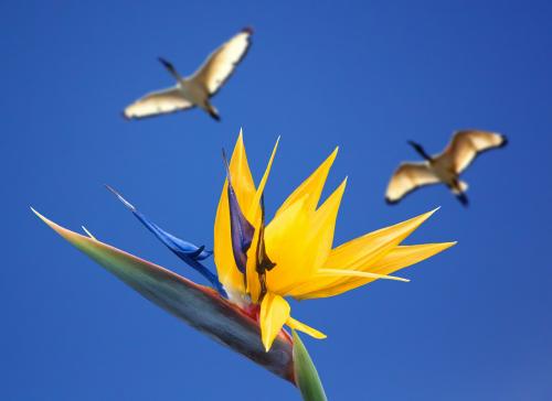 caudata flower bird of paradise flower