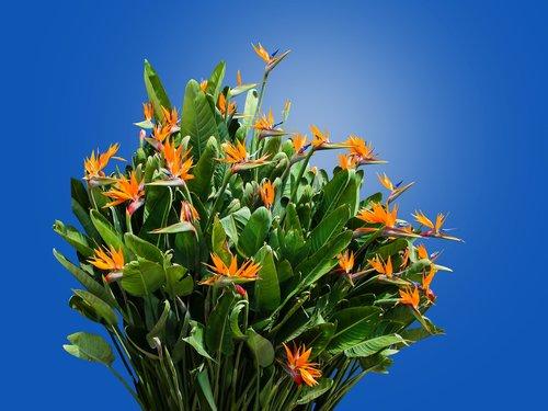 caudata  strelitzia  bird of paradise flower
