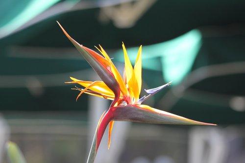 caudata  bird of paradise flower  exotic