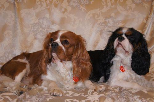 cavalier dog dog cavalier