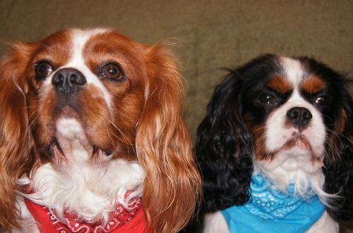 cavalier king charles spaniel dogs breed dogs