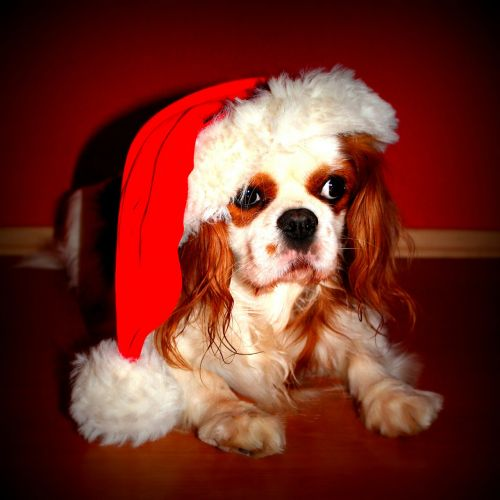 cavalier king charles spaniel dog christmas