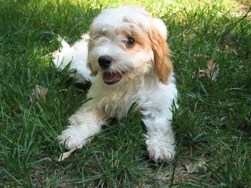 cavapoo poodle puppy