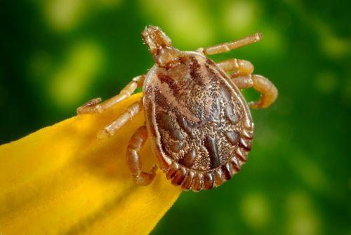 cayenne tick tick male
