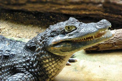 cayman animal reptile