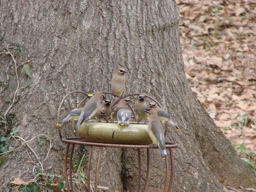 cedar wax wings birds feeding
