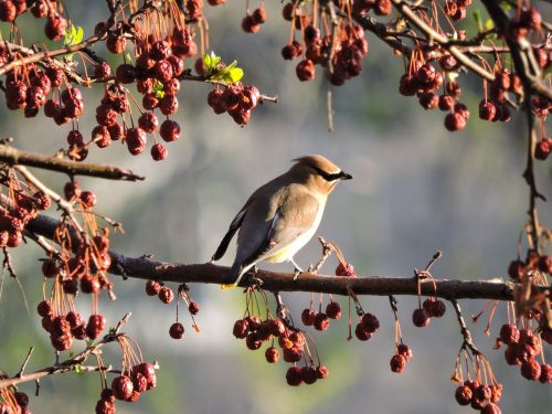 cedar waxwing waxwing bird