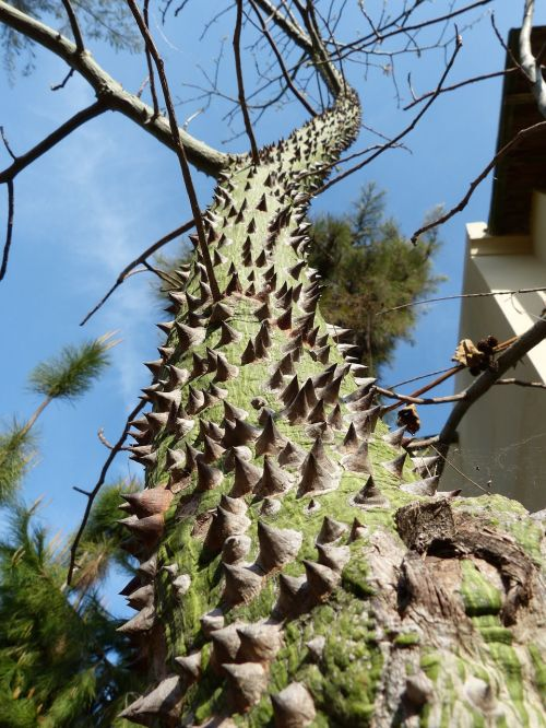 ceiba speciosa barbed tree spur