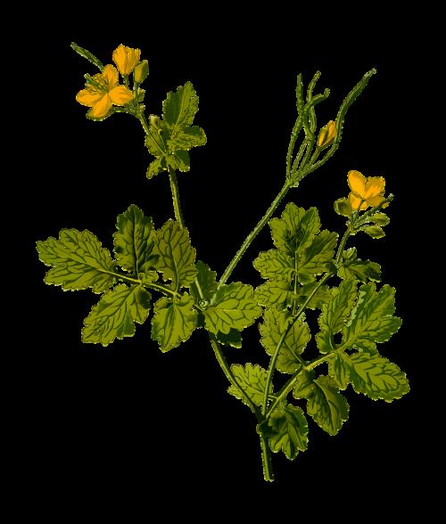 celandine floral flower