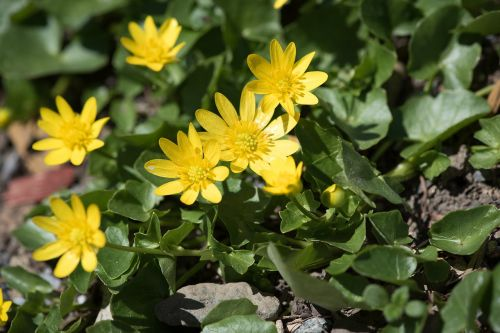 celandine yellow yellow flowers