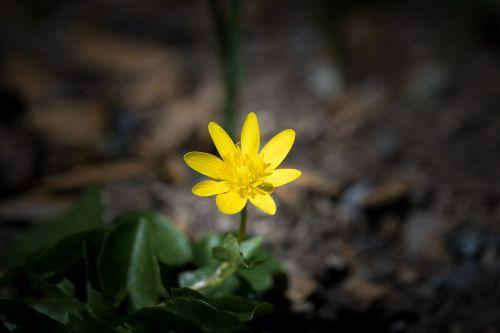 celandine feigwurz yellow