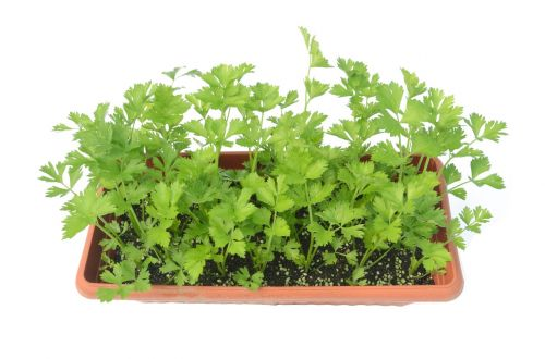 celery green potted plants